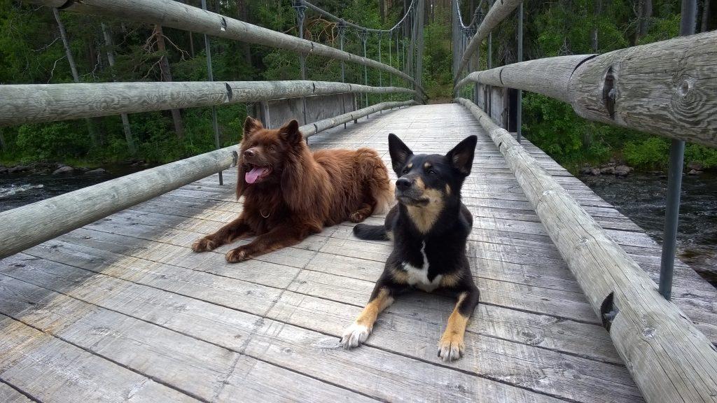 Lapinporokoira ja suomenlapinkoira