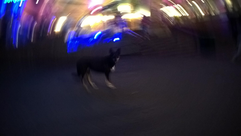 Kuinka auttaa koiraa selviämään kaupungin häiriöissä