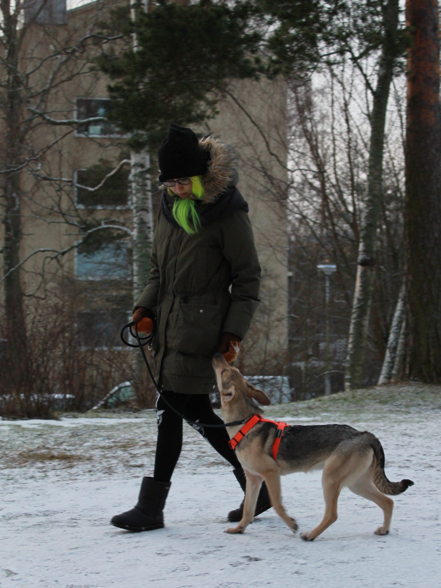 Viipurin rescue-koira treenaa kurssilla